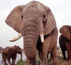 Anche gli elefanti mandano sms