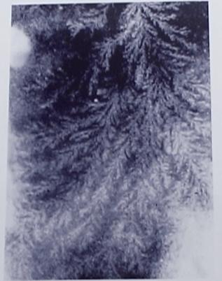 aghi di pino ragazzo rho
