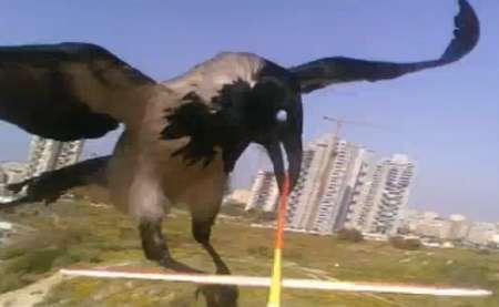 Corvo attacca aereo radiocomandato, ecco il video on board