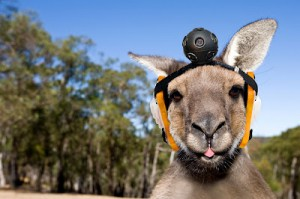 Kangaroo with head camera